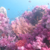 """Ko Lipe Diving - The beautiful soft corals of Stonehenge - Koh Lipe, Tarutao National Marine Park, Thailand • <a style=""""font-size:0.8em;"""" href=""""http://www.flickr.com/photos/84280466@N07/9618873295/"""" target=""""_blank"""">View on Flickr</a>"""