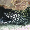 "Ko Lipe Diving - Honeycomb moray (Gymnothorax favagineus) - Koh Lipe, Tarutao National Marine Park, Thailand • <a style=""font-size:0.8em;"" href=""http://www.flickr.com/photos/84280466@N07/9358221164/"" target=""_blank"">View on Flickr</a>"