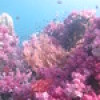 """Ko Lipe Diving - Soft tree coral at Stonehenge - Koh Lipe, Tarutao National Marine Park, Thailand • <a style=""""font-size:0.8em;"""" href=""""http://www.flickr.com/photos/84280466@N07/9355046967/"""" target=""""_blank"""">View on Flickr</a>"""