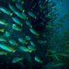 "Ko Lipe Diving - Bigeye snapper (Lutjanus lutjanus) - Koh Lipe, Tarutao National Marine Park, Thailand • <a style=""font-size:0.8em;"" href=""http://www.flickr.com/photos/84280466@N07/10958106526/"" target=""_blank"">View on Flickr</a>"