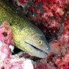 "Ko Lipe Diving - Yellowmargin moray (Gymnothorax flavimarginatus) - Koh Lipe, Tarutao National Marine Park, Thailand • <a style=""font-size:0.8em;"" href=""http://www.flickr.com/photos/84280466@N07/9358227804/"" target=""_blank"">View on Flickr</a>"