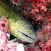 "Ko Lipe Diving - Yellowmargin moray (Gymnothorax flavimarginatus) - Koh Lipe, Tarutao National Marine Park, Thailand • <a style=""font-size:0.8em;"" href=""http://www.flickr.com/photos/84280466@N07/9358227804/"" target=""_blank"">View on Flickr</a>"