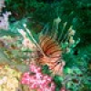 "Ko Lipe Diving - Common lionfish (Pterois volitans) • <a style=""font-size:0.8em;"" href=""http://www.flickr.com/photos/84280466@N07/14717123017/"" target=""_blank"">View on Flickr</a>"