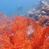"Ko Lipe Diving - Gorgonian sea fan - Koh Lipe, Tarutao National Marine Park, Thailand • <a style=""font-size:0.8em;"" href=""http://www.flickr.com/photos/84280466@N07/9355437241/"" target=""_blank"">View on Flickr</a>"