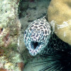 "Ko Lipe Diving - Honeycomb moray (Gymnothorax favagineus) - Koh Lipe, Tarutao National Marine Park, Thailand • <a style=""font-size:0.8em;"" href=""http://www.flickr.com/photos/84280466@N07/9546921908/"" target=""_blank"">View on Flickr</a>"