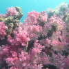 """Ko Lipe Diving - The beautiful soft corals of Stonehenge - Koh Lipe, Tarutao National Marine Park, Thailand • <a style=""""font-size:0.8em;"""" href=""""http://www.flickr.com/photos/84280466@N07/9622098062/"""" target=""""_blank"""">View on Flickr</a>"""