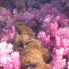 """Ko Lipe Diving - The beautiful soft corals of Stonehenge - Koh Lipe, Tarutao National Marine Park, Thailand • <a style=""""font-size:0.8em;"""" href=""""http://www.flickr.com/photos/84280466@N07/9622118550/"""" target=""""_blank"""">View on Flickr</a>"""