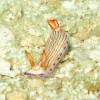 "Ko Lipe Diving - Nudibranch - Koh Lipe, Tarutao National Marine Park, Thailand • <a style=""font-size:0.8em;"" href=""http://www.flickr.com/photos/84280466@N07/10740153064/"" target=""_blank"">View on Flickr</a>"