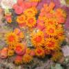 "Ko Lipe Diving - Orange cup coral (Tubastrea coccinea) - Koh Lipe, Tarutao National Marine Park, Thailand • <a style=""font-size:0.8em;"" href=""http://www.flickr.com/photos/84280466@N07/7716958280/"" target=""_blank"">View on Flickr</a>"