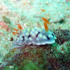 "Ko Lipe Diving - Nudibranch (Chromodoris conchyliata) - Koh Lipe, Tarutao National Marine Park, Thailand • <a style=""font-size:0.8em;"" href=""http://www.flickr.com/photos/84280466@N07/7717568442/"" target=""_blank"">View on Flickr</a>"