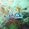 "Ko Lipe Diving - Nudibranch (Chromodoris conchyliata) - Koh Lipe, Tarutao National Marine Park, Thailand • <a style=""font-size:0.8em;"" href=""http://www.flickr.com/photos/84280466@N07/7717568442/"" target=""_blank"">View on Flickr</a>"