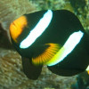 """Ko Lipe Diving - Clark's anemonefish (Amphiprion clarkii) - Koh Lipe, Tarutao National Marine Park, Thailand • <a style=""""font-size:0.8em;"""" href=""""http://www.flickr.com/photos/84280466@N07/7720611228/"""" target=""""_blank"""">View on Flickr</a>"""