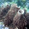 "Ko Lipe Diving - Barrel sponges (Xestospongia muta) - Koh Lipe, Tarutao National Marine Park, Thailand • <a style=""font-size:0.8em;"" href=""http://www.flickr.com/photos/84280466@N07/7720610942/"" target=""_blank"">View on Flickr</a>"