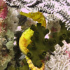 """Ko Lipe Diving - Tigertail seahorse (Hippocampus comes) - Koh Lipe, Tarutao National Marine Park, Thailand • <a style=""""font-size:0.8em;"""" href=""""http://www.flickr.com/photos/84280466@N07/9358146796/"""" target=""""_blank"""">View on Flickr</a>"""