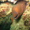 "Ko Lipe Diving - Giant moray (Gymnothorax javanicus) - Koh Lipe, Tarutao National Marine Park, Thailand • <a style=""font-size:0.8em;"" href=""http://www.flickr.com/photos/84280466@N07/9544149615/"" target=""_blank"">View on Flickr</a>"