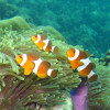"Ko Lipe Diving - False clownfish (Amphiprion ocellaris) - Koh Lipe, Tarutao National Marine Park, Thailand • <a style=""font-size:0.8em;"" href=""http://www.flickr.com/photos/84280466@N07/9357764938/"" target=""_blank"">View on Flickr</a>"