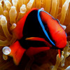 """Ko Lipe Diving - Tomato anemonefish (Amphiprion frenatus) - Koh Lipe, Thailand, Tarutao National Marine Park • <a style=""""font-size:0.8em;"""" href=""""http://www.flickr.com/photos/84280466@N07/7954205906/"""" target=""""_blank"""">View on Flickr</a>"""