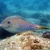 "Ko Lipe Diving - Scribbled filefish (Aluterus scriptus) - Koh Lipe, Thailand, Tarutao National Marine Park • <a style=""font-size:0.8em;"" href=""http://www.flickr.com/photos/84280466@N07/7954213026/"" target=""_blank"">View on Flickr</a>"