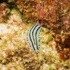 "Ko Lipe Diving - Nudibranch - Koh Lipe, Tarutao National Marine Park, Thailand • <a style=""font-size:0.8em;"" href=""http://www.flickr.com/photos/84280466@N07/8390866581/"" target=""_blank"">View on Flickr</a>"