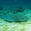 "Ko Lipe Diving - Leopard shark (Stegostoma fasciatum) - Tarutao National Marine Park, Thailand • <a style=""font-size:0.8em;"" href=""http://www.flickr.com/photos/84280466@N07/7720619718/"" target=""_blank"">View on Flickr</a>"