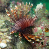 """Ko Lipe Diving - Common lionfish (Pterois volitans) - Koh Lipe, Tarutao National Marine Park, Thailand • <a style=""""font-size:0.8em;"""" href=""""http://www.flickr.com/photos/84280466@N07/7717572438/"""" target=""""_blank"""">View on Flickr</a>"""
