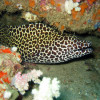 "Ko Lipe Diving - Honeycomb moray (Gymnothorax favagineus) - Koh Lipe, Tarutao National Marine Park, Thailand • <a style=""font-size:0.8em;"" href=""http://www.flickr.com/photos/84280466@N07/7717009998/"" target=""_blank"">View on Flickr</a>"