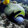 """Ko Lipe Diving - Emperor angelfish (Pomacanthus imperator) - Koh Lipe, Thailand, Tarutao National Marine Park • <a style=""""font-size:0.8em;"""" href=""""http://www.flickr.com/photos/84280466@N07/7954178980/"""" target=""""_blank"""">View on Flickr</a>"""