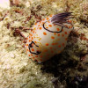 "Ko Lipe Diving - Nudibranch (Chromodoris sp.) - Koh Lipe, Tarutao National Marine Park, Thailand • <a style=""font-size:0.8em;"" href=""http://www.flickr.com/photos/84280466@N07/7988225664/"" target=""_blank"">View on Flickr</a>"