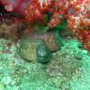 "Ko Lipe Diving - White-eyed moray (Siderea thyrsoidea) - Koh Lipe, Tarutao National Marine Park, Thailand • <a style=""font-size:0.8em;"" href=""http://www.flickr.com/photos/84280466@N07/7716959422/"" target=""_blank"">View on Flickr</a>"