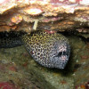 "Ko Lipe Diving - Honeycomb moray (Gymnothorax favagineus) - Koh Lipe, Tarutao National Marine Park, Thailand • <a style=""font-size:0.8em;"" href=""http://www.flickr.com/photos/84280466@N07/7720611784/"" target=""_blank"">View on Flickr</a>"