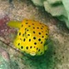 "Ko Lipe Diving - Yellow boxfish (Ostracion cubicus) - Koh Lipe, Tarutao National Marine Park, Thailand • <a style=""font-size:0.8em;"" href=""http://www.flickr.com/photos/84280466@N07/7716967886/"" target=""_blank"">View on Flickr</a>"