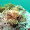 "Ko Lipe Diving - Tassled scorpionfish (Scorpaenopsis oxycephala) - Koh Lipe, Tarutao National Marine Park, Thailand • <a style=""font-size:0.8em;"" href=""http://www.flickr.com/photos/84280466@N07/7716958916/"" target=""_blank"">View on Flickr</a>"