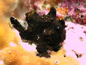 Ko Lipe Diving - Frogfish