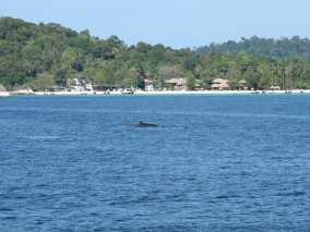 Ko Lipe Diving - Minke whales