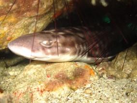 Ko Lipe Diving coral catshark