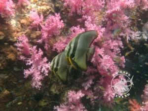 Stonehenge batfish
