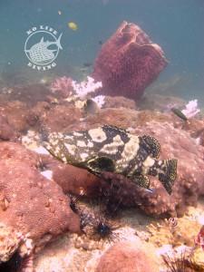 Stonehenge grouper